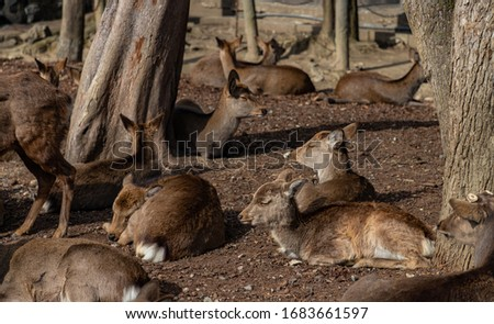 A picture of a group of sika deers that roam the Nara Park (Nara).