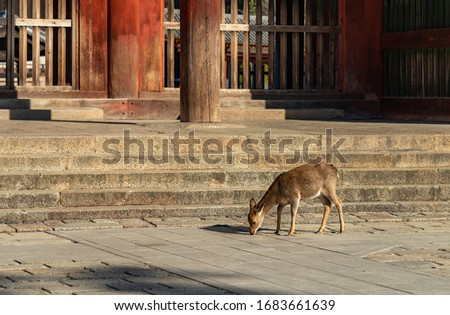 A picture of one of the sika deers that roam the Nara Park (Nara).