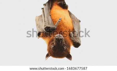 Close up bat hanging upside down on the tree. Corona virus or Covid-19 concept, soft focus Royalty-Free Stock Photo #1683677587