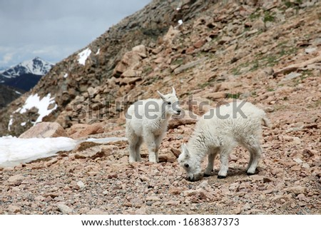 Baby Mountain Goats on top of the Mount Evans in Colorado #1683837373