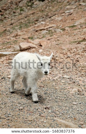 Baby Mountain Goats on top of the Mount Evans in Colorado #1683837376