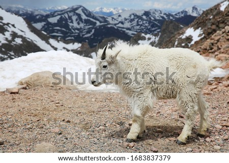 Baby Mountain Goats on top of the Mount Evans in Colorado #1683837379