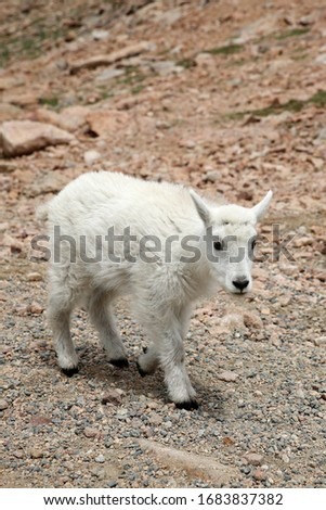 Baby Mountain Goats on top of the Mount Evans in Colorado #1683837382