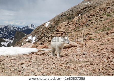 Baby Mountain Goats on top of the Mount Evans in Colorado #1683837385