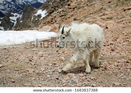 Baby Mountain Goats on top of the Mount Evans in Colorado #1683837388