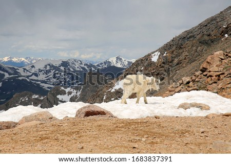 Baby Mountain Goats on top of the Mount Evans in Colorado #1683837391