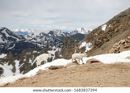 Baby Mountain Goats on top of the Mount Evans in Colorado #1683837394