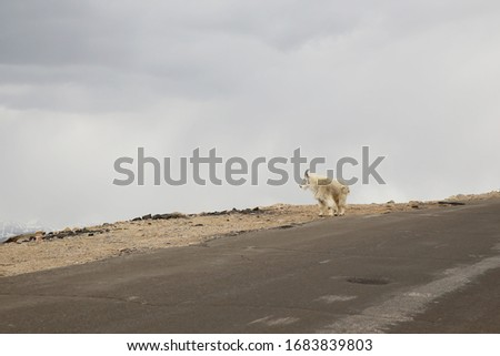 Mountain Goat on top of the Mount Evans in Colorado #1683839803