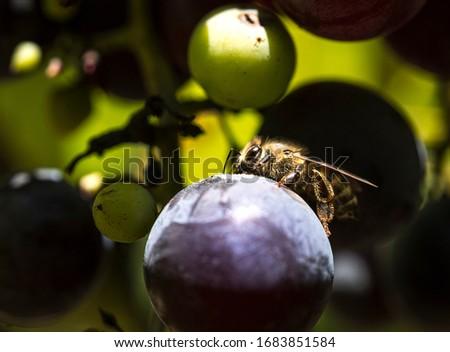 bee on grape in vineyard #1683851584