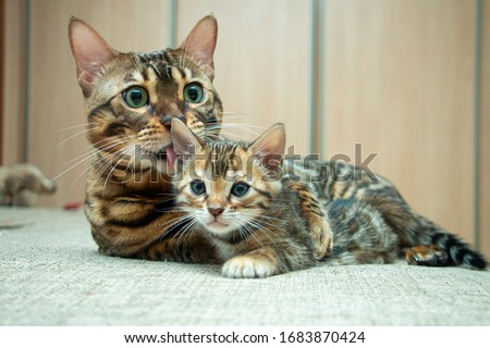 an adult cat caresses its Bengal kitten Royalty-Free Stock Photo #1683870424