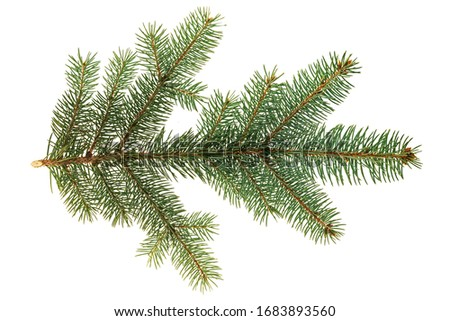 Branch of Colorado blue spruce (Picea pungens) isolate on a white background. The blue spruce, Colorado spruce, or Colorado blue spruce, with the Latin name Picea pungens.  Royalty-Free Stock Photo #1683893560