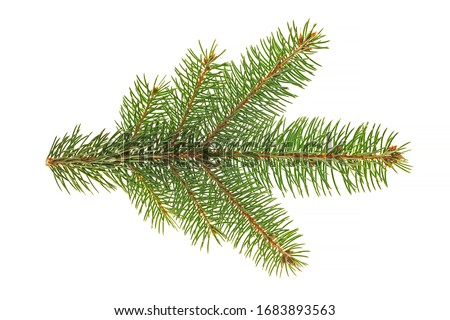Branch of Colorado blue spruce (Picea pungens) isolate on a white background. The blue spruce, Colorado spruce, or Colorado blue spruce, with the Latin name Picea pungens.  #1683893563