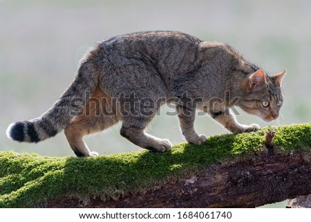 European Wildcat (Felis silvestris silvestris) Cadiz, Spain  Royalty-Free Stock Photo #1684061740