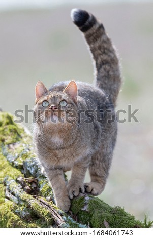 European Wildcat (Felis silvestris silvestris) Cadiz, Spain  Royalty-Free Stock Photo #1684061743
