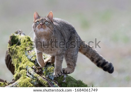 European Wildcat (Felis silvestris silvestris) Cadiz, Spain  Royalty-Free Stock Photo #1684061749