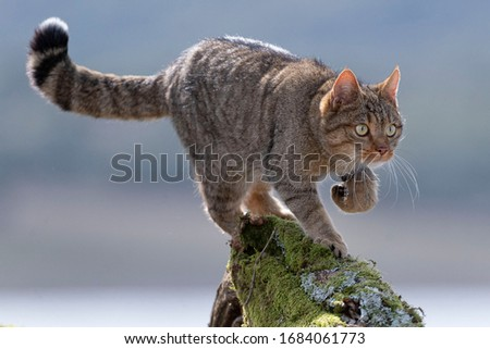 European Wildcat (Felis silvestris silvestris) Cadiz, Spain  Royalty-Free Stock Photo #1684061773
