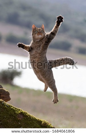 European Wildcat (Felis silvestris silvestris) Cadiz, Spain  Royalty-Free Stock Photo #1684061806