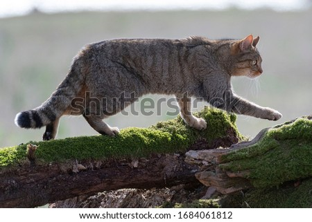 European Wildcat (Felis silvestris silvestris) Cadiz, Spain  Royalty-Free Stock Photo #1684061812