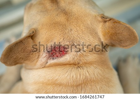 Hot spot on dog's neck during summer heat. Royalty-Free Stock Photo #1684261747