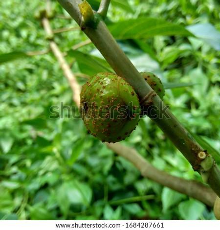Ficus septica (awar-awar, bar-abar, ki ciyat, bobulutu, tagalolo, tobo-tobo, dausalo) in nature background. Ficus septica can treat rheumatism, anti-poison drugs, and others. #1684287661