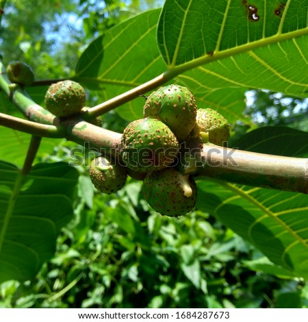 Ficus septica (awar-awar, bar-abar, ki ciyat, bobulutu, tagalolo, tobo-tobo, dausalo) in nature background. Ficus septica can treat rheumatism, anti-poison drugs, and others. #1684287673