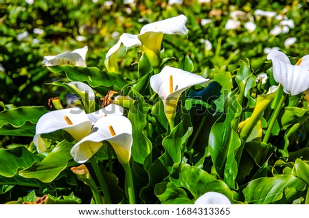 White calla lilies in Big Sur. Beautiful landscapes in California