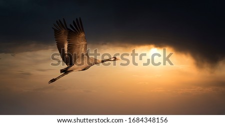 Common Crane - Grus grus, beautiful large bird from Euroasian fields and flying in the sunset, amazing magical photo, Czech republic, wildlife Royalty-Free Stock Photo #1684348156