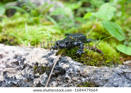 The alpine salamander a shiny black salamander found in the central, eastern and Dinaric Alps. Salamandra atra, endemic amphibian species in the Alps