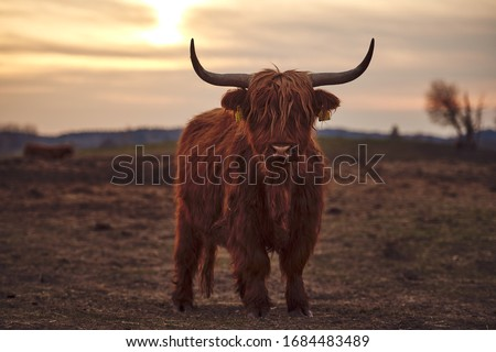 Young Scottish Highland Beef Cattle closeup #1684483489