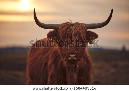Young Scottish Highland Beef Cattle closeup #1684483516