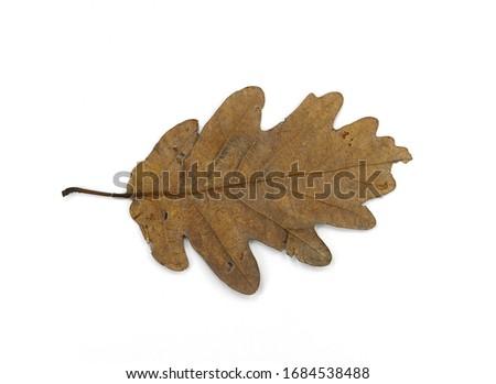 Brown Old oak leaf isolated on white. Autumn leaf. #1684538488