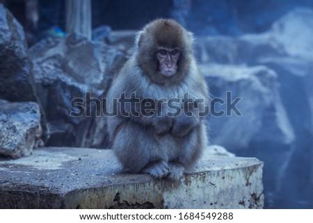 Snow Monkey in the Jigokudani park, Japan