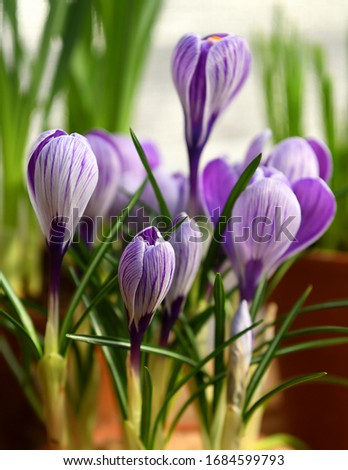 Crocus Pickwick with six-petaled, shimmering pale silver-lilac flowers with showy, dark lilac stripes #1684599793