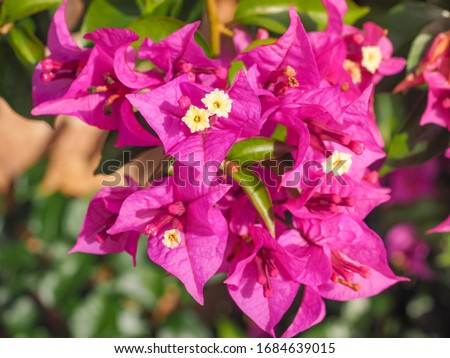 Bougainvillea spectabilis, glabra or buttiana known as great bougainvillea. Flowering plant in the family Nyctaginaceae. Evergreen Paperflower is ornamental plant, woody vine shrub with pink flowers. #1684639015