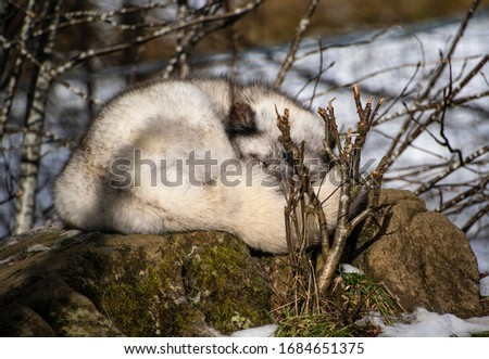 Arctic fox sleeping curled up