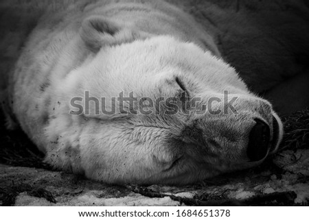 Sleeping polar bear close up
