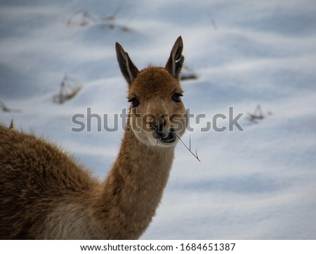 Vicuna looking at camera chewing on grass