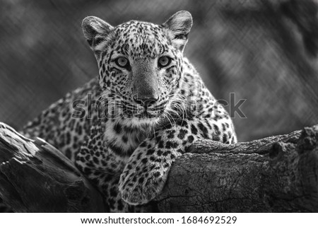 Photograph of a leopard on a branch of a tree looking down in black and white.