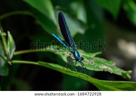 ebony jewelwing damselfly sitting on a leaf
