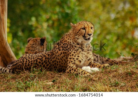 picture beautiful cheetah at daytime