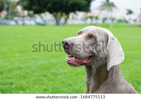 Profile portrait of a dog of breed Weimaraner on the green lawn. #1684775113
