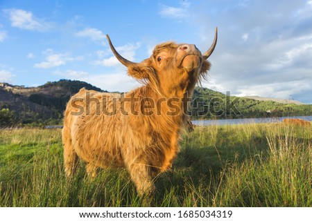 Scottish highland cow bull in field, Scotland UK #1685034319