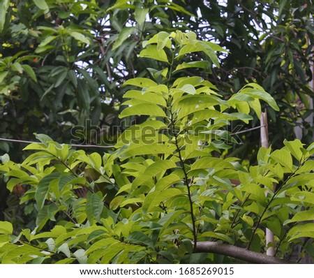 plant Annona squamosa Familia of Annonaceae  #1685269015
