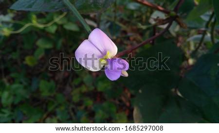 flowers buds violet flower  green background pics