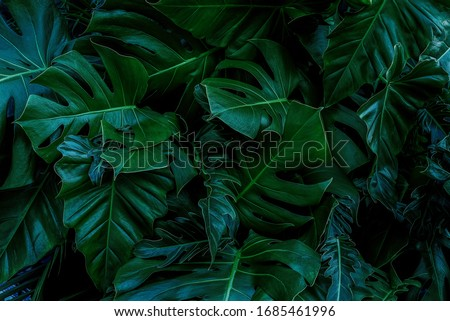 Monstera green leaves or Monstera Deliciosa in dark tones(Monstera, palm, rubber plant, pine, bird's nest fern), background or green leafy tropical pine forest patterns for creative design elements.  Royalty-Free Stock Photo #1685461996