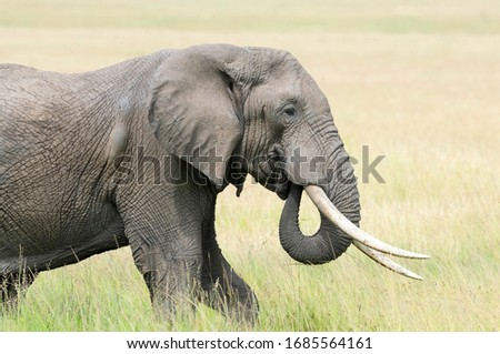 Male Bull Elephant with Big Tusks Royalty-Free Stock Photo #1685564161