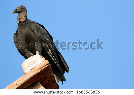 A Black Vulture (Coragyps atratus), also known as the American Black Vulture perched on a rooftop in Nicaragua along the coast.