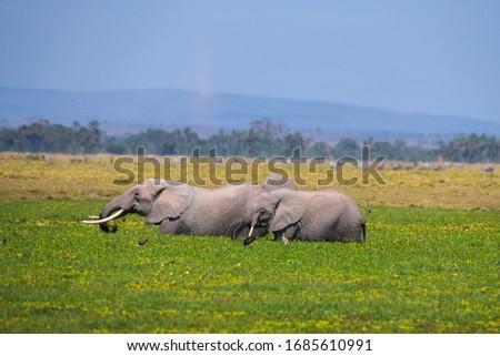 African Elephants or  Tuskers from Amboseli  Kenya #1685610991