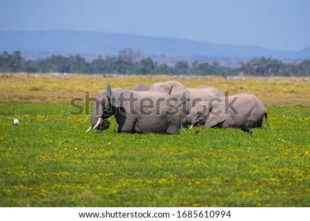 African Elephants or  Tuskers from Amboseli  Kenya #1685610994