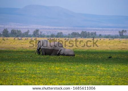 African Elephants or  Tuskers from Amboseli  Kenya #1685611006